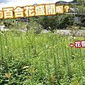 2012.5.12 百合花大開