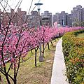 2014.1.31 內溝溪櫻花步道