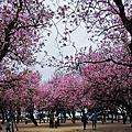 201103台南公園羊蹄甲花開