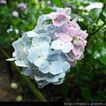 雨和紫陽花