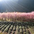 武陵農場。春櫻之旅