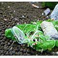 滿地剛出生的小小水晶蝦