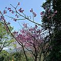 三芝 櫻花季 20110228