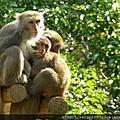 六福村.白色孟加拉虎與猴子們 #2012.10.10