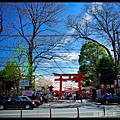京都賞櫻-平野神社