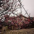 平菁里陽明山櫻花