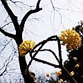 上海植物園 結香 愛情植物