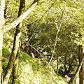 高山獼猴_鹿林神木