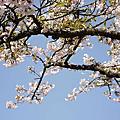 2011 阿里山賓館櫻花