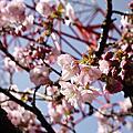 阿里山派出所櫻花