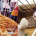 混美短小貓多莉&黑白賓士貓小呆呆