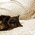 2012龍年行大運之兩貓過年睡到飽