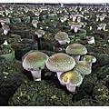 台中新社@吃菇吃菇吃菇一直吃菇菇