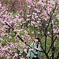 2014.2.5.客官農場.寒櫻怒放