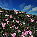 2016年奇萊南峰、南華山步道與合歡山的高山杜鵑花讓人既驚艷又驚訝不已!