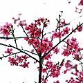 200902櫻花