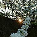 巧遇美麗櫻花