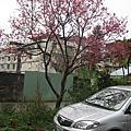 櫻花gorogoro