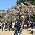 20120318 阿里山瘋櫻花