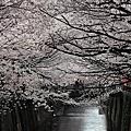 2012/4/6 JR PASS,跟著櫻花去旅行~Day4 只見櫻花不見天日的目黑川