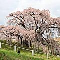 2013櫻花季 Day4 晴空塔&三春滝桜