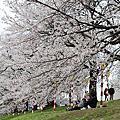 2013櫻花季 Day1 白石川堤一目千本桜