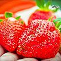 20120226大湖馬拉邦山觀光草莓農場