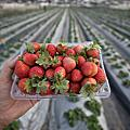 台南開心農場採草莓