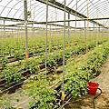 路竹 番茄