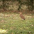 台大黑冠麻鷺巢+幼鳥! (2008May)
