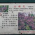 陽明山的山櫻花 - 03/20/2014