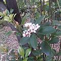 台北植物園石斑木 – 03.23.2014