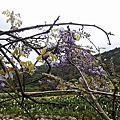 竹子湖紫藤