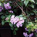 台北街頭的紫花馬櫻丹