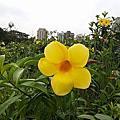 大安森林公園與台北郊區的黃蟬