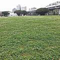 華山藝文廣場白色苜蓿花