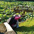 荷花  台北植物園荷花池  06. 04. 2016