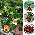 草莓園照片