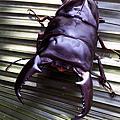 甲蟲手機桌布 Beetle wallpaper for smartphone