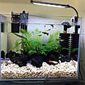 水草孔雀魚