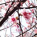 陽明山的櫻花,你看了沒~