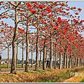 140325林朷埤木棉花