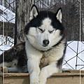 - 2010。2月 東京北海道 Day6 雪橇犬 -