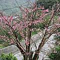 2007.1.27陽明山櫻花