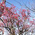 2008櫻花瓣瓣