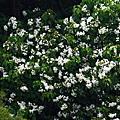 白雪油桐睡蓮紫