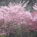 2011櫻_武陵II