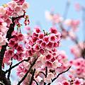 櫻花開春(09)