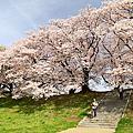 20160406007 春之京都賞櫻紀行