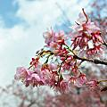 101.2.25-武陵。幸福櫻花。小米&老婆